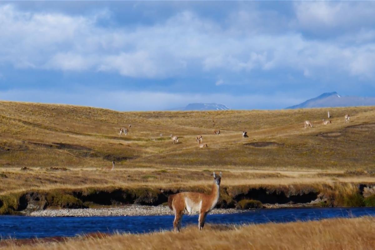Patagonia Road Trip Wildlife Guanaco